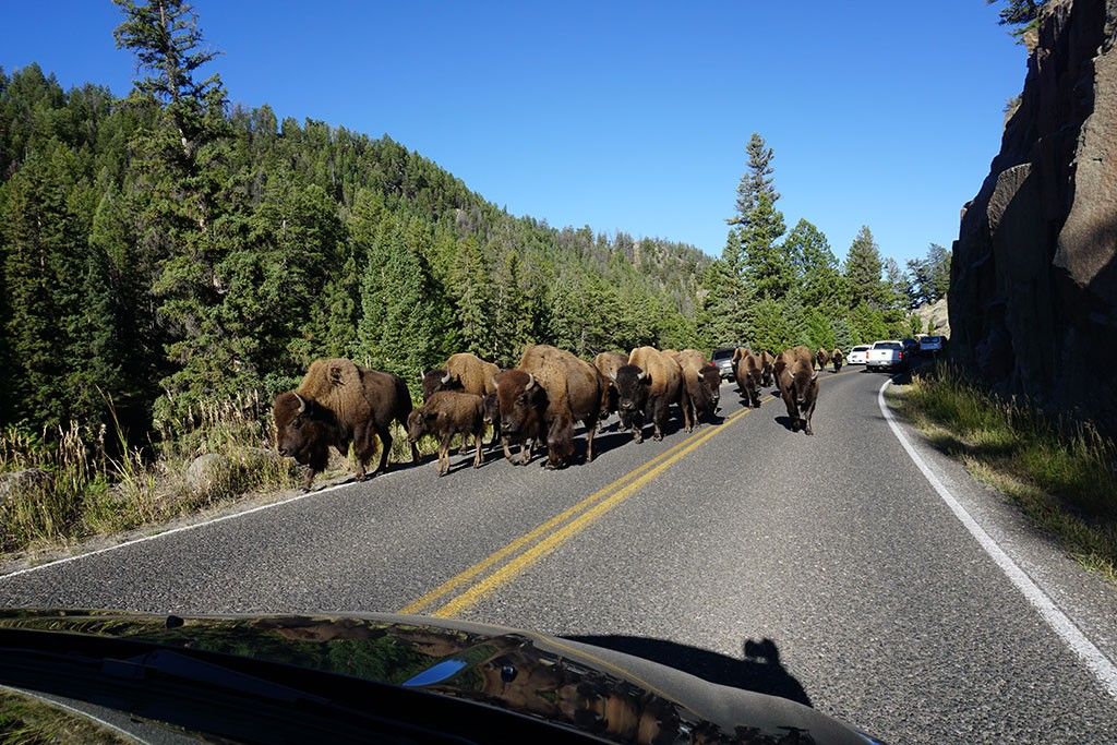 Am Weg zu Ranger Station sind wir wieder ein paar Bisons begegnet.