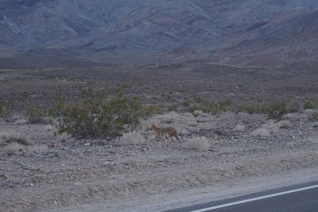 Koyote läuft an Straße vorbei
