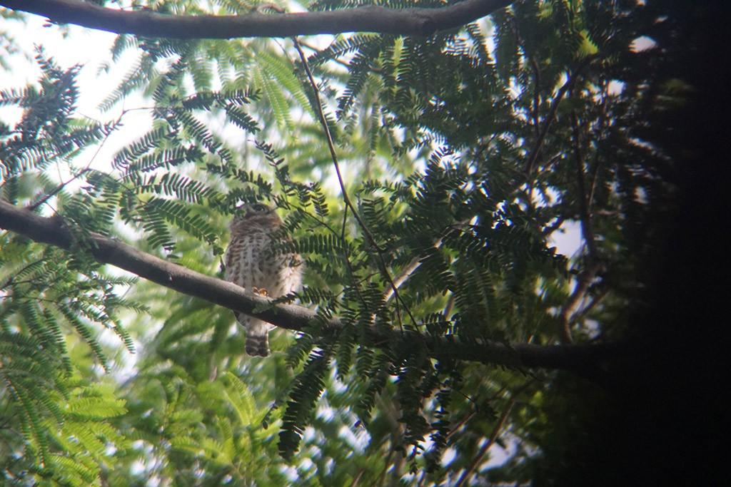 Die anfänglich gesehene Cuban Pigmy Owl, haben wir am Schluss auch noch fotografieren können