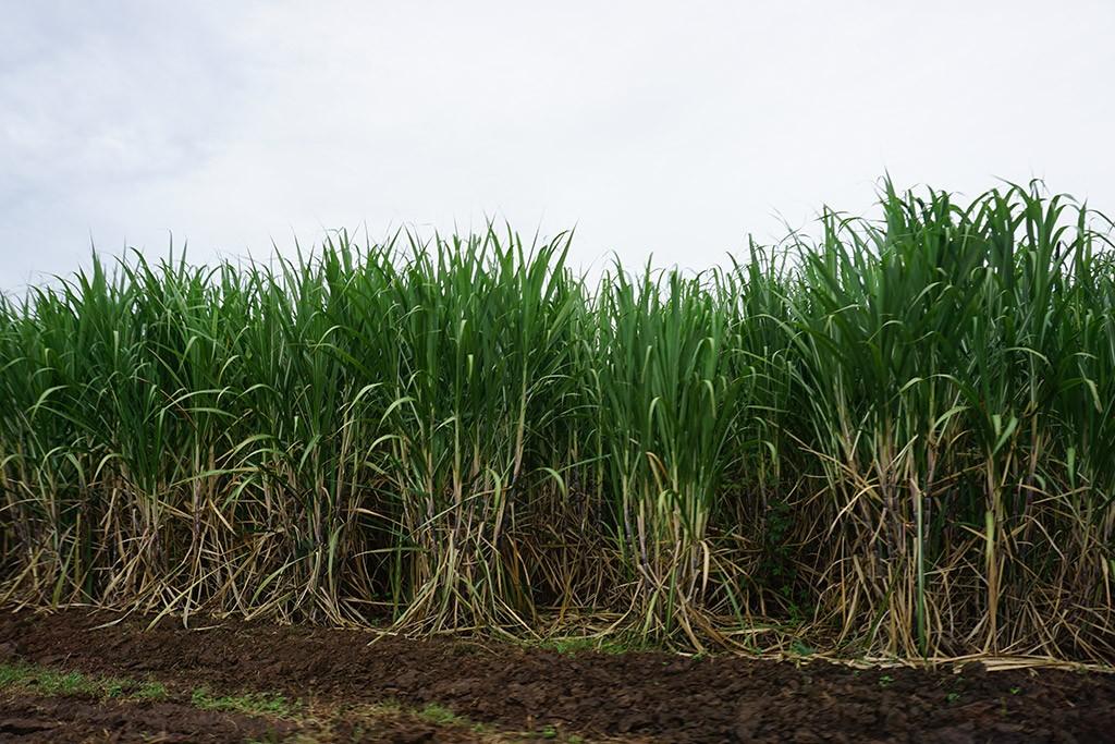 So sehen also Zuckerrohrpflanzen aus