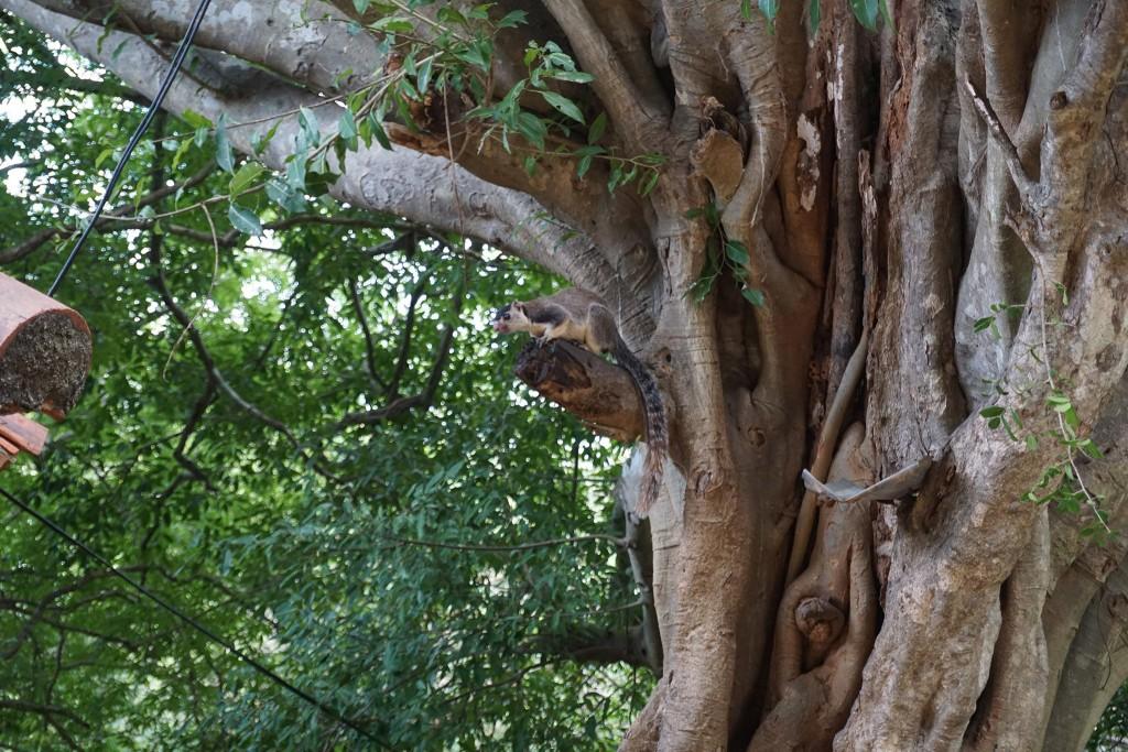 Ein Rieseneichhörnchen