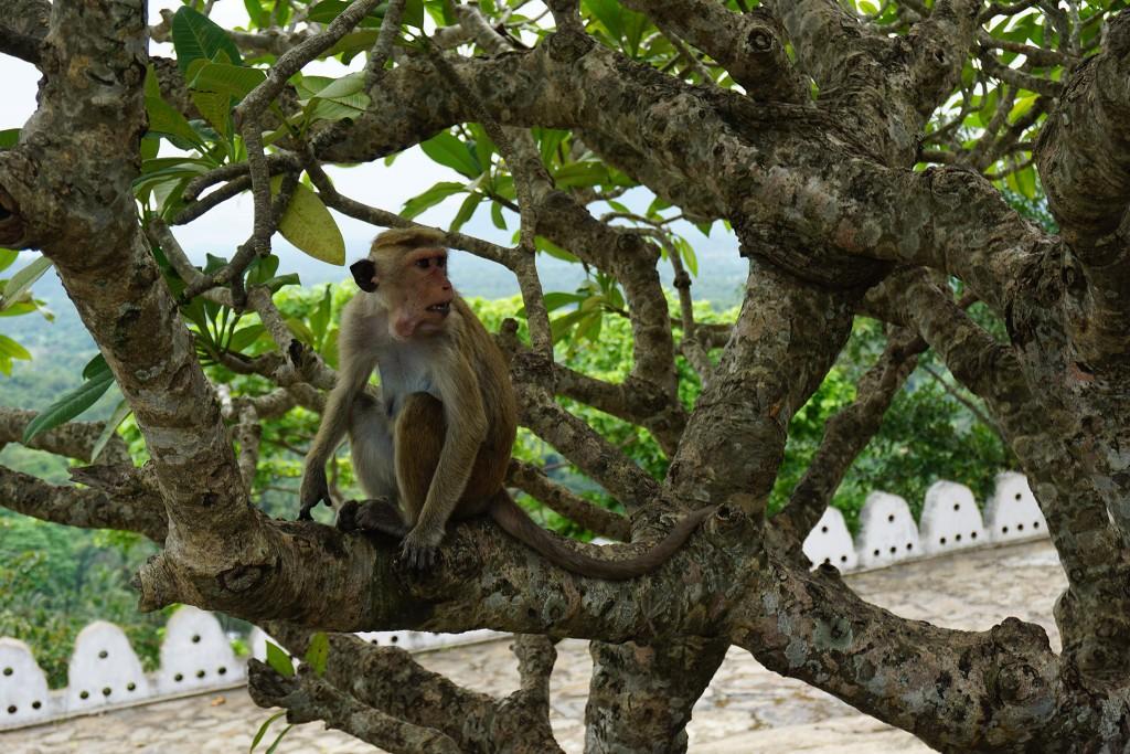 Dieser Affe hat sich gierig einen großen Essensvorrat ins Maul gestopft