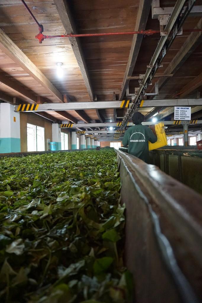Teeblätter am Trocknen