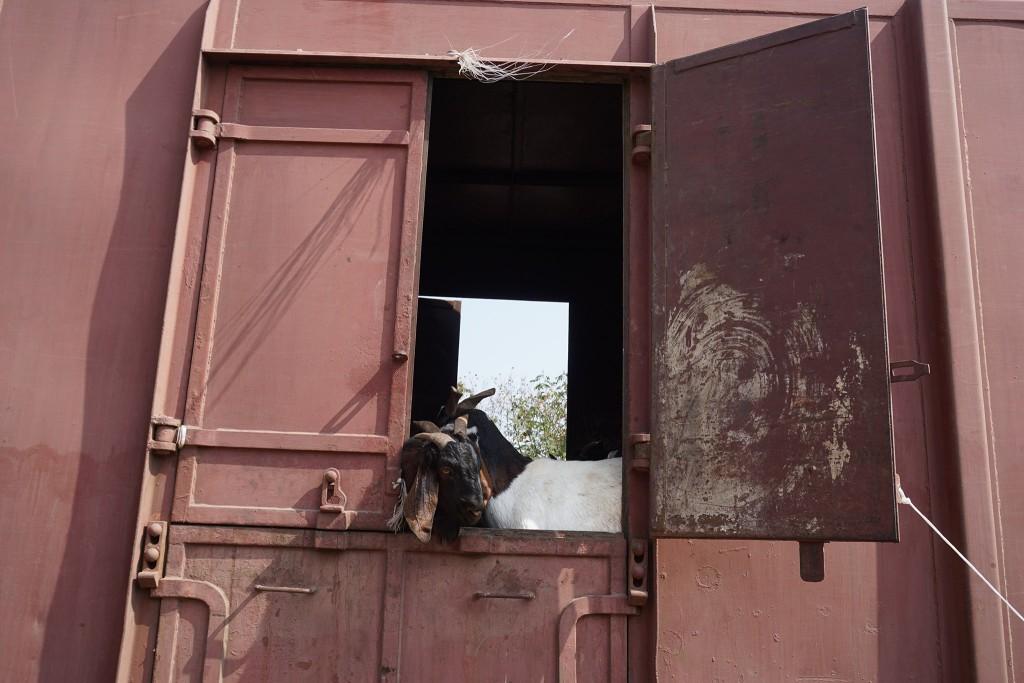 auch Ziegen werden transportiert
