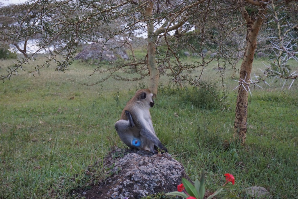 lustige Affen mit blauen Hoden